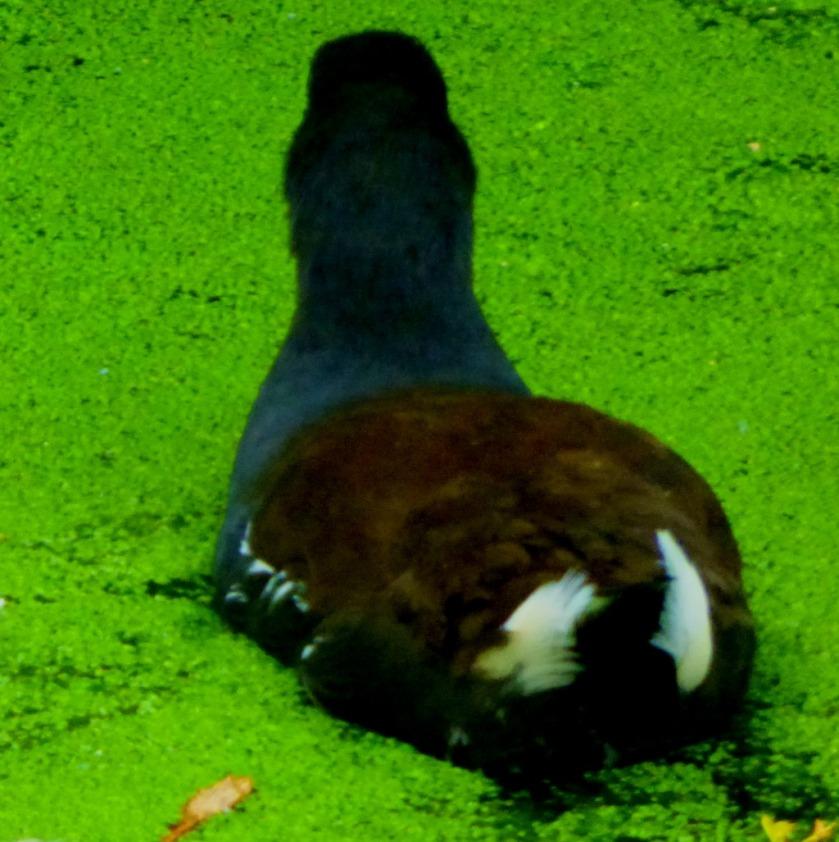 Moorhen in algae