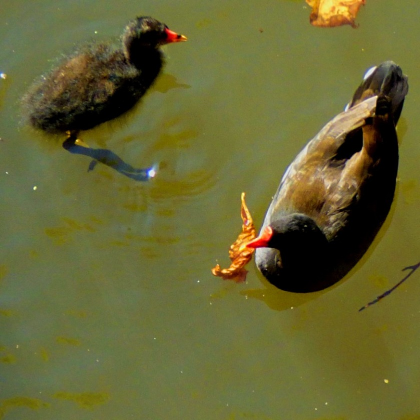 Moorhen parent and child