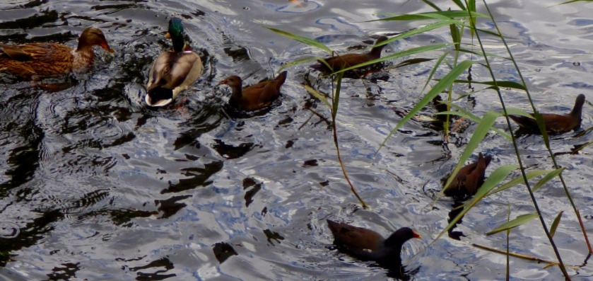 Moorhens and ducks