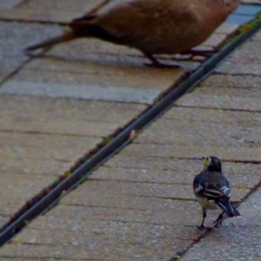 wagtail in pigeon's shadow