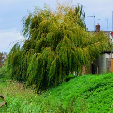 Bawsey Drain Willow I