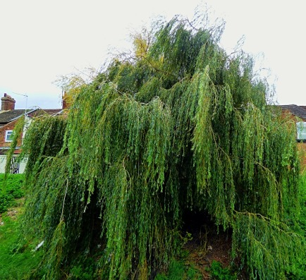 Bawsey Drain Willow II