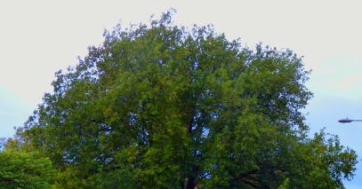 big tree canopy