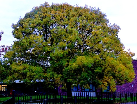 Big tree, Goodwins Road