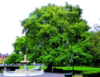 biggest tree in the walks