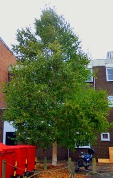BLC tree 2