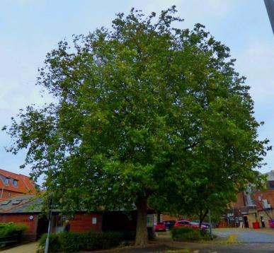BLC tree 3