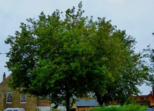 BLC tree 5