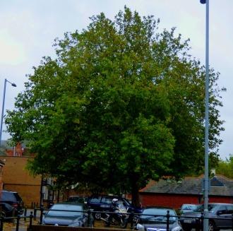 BLC tree