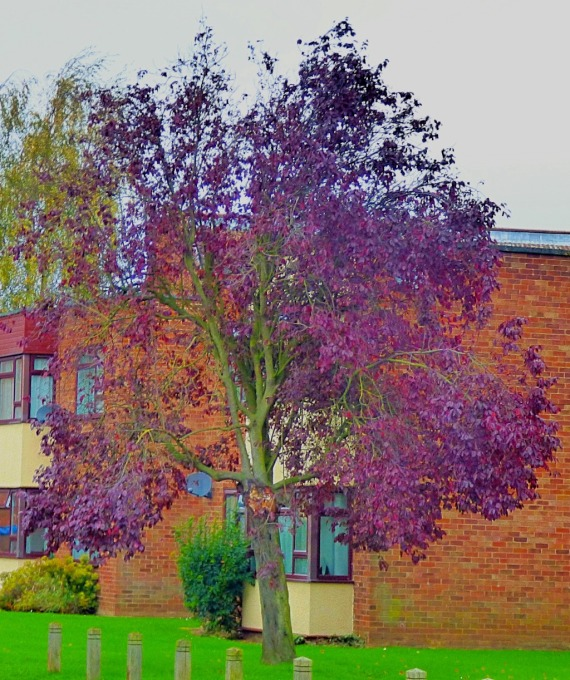 Burgundy tree, Goodwins Road