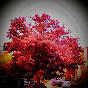 burgundy tree, HSq