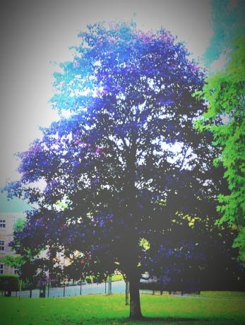 Burgundy tree, the walks