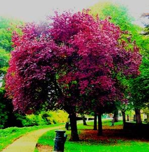 Burgundy tree