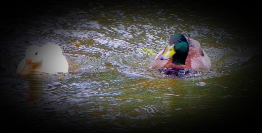 Contrasting ducks