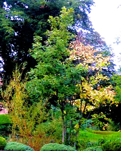 contrasting tree, Vancouver garden