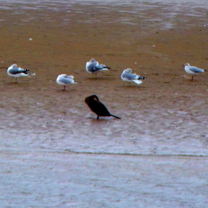 Cormorant and gulls