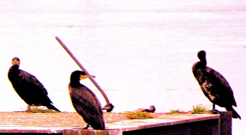 Cormorants 7