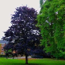 Dark leaved tree