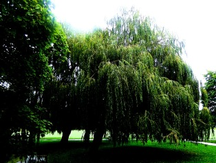 Giant willow