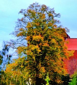 greyfriars tree