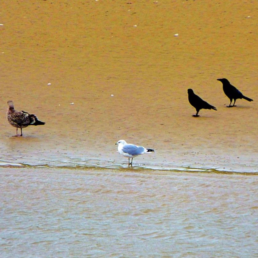 gulls and corvids