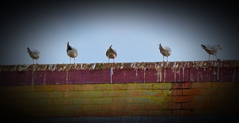 Gulls, Bawsey Drain