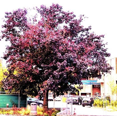 Hillington Square tree 1