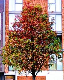 Hillington Square tree 3