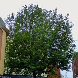 HS tree