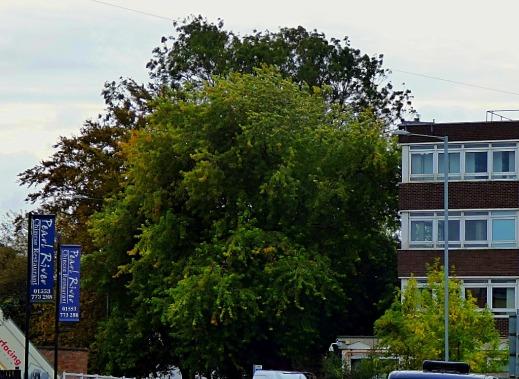 John Kennedy Road tree