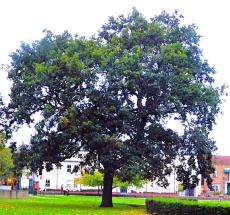 large tree - the walks