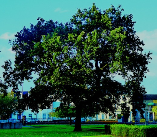 large tree, the walks