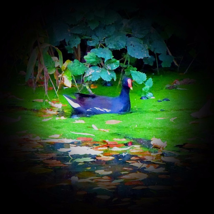 Moorhen, The Walks