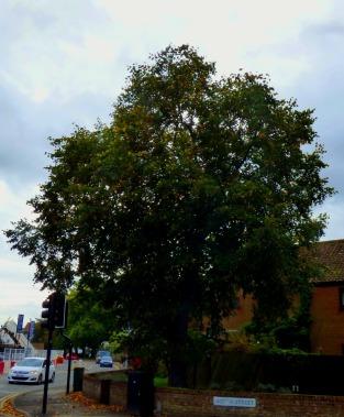 North Street tree