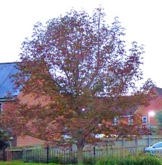 russet tree, Goodwins Road