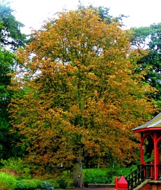 russet tree