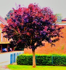 small burgundy tree