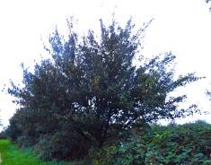 small tree, Hardings Pits