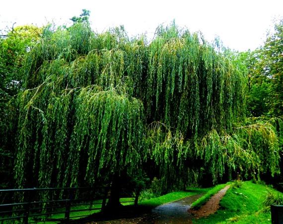 Squat willow