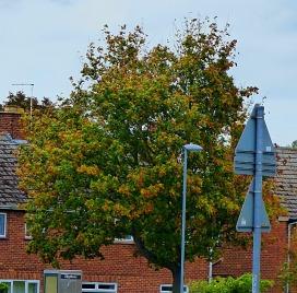 St Edmundsbury tree 1