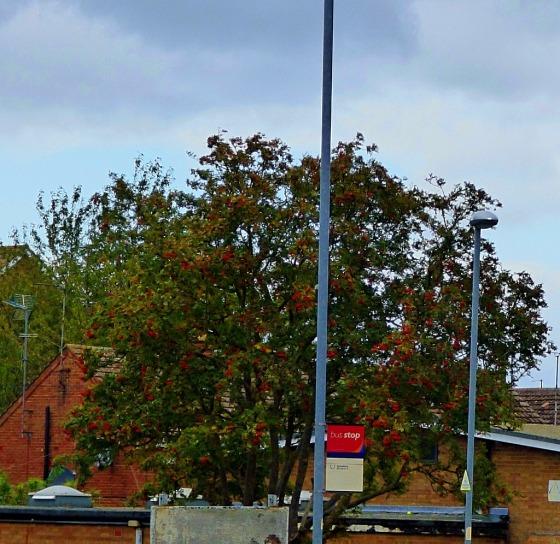 St Edmundsbury tree II