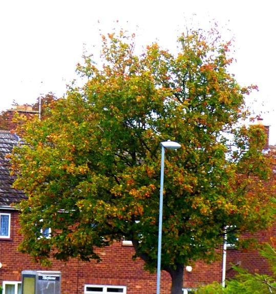 St Edmundsbury tree