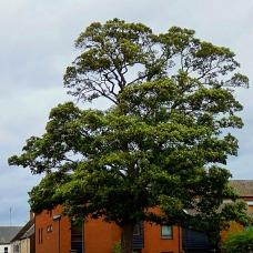 St Nick's Trees III