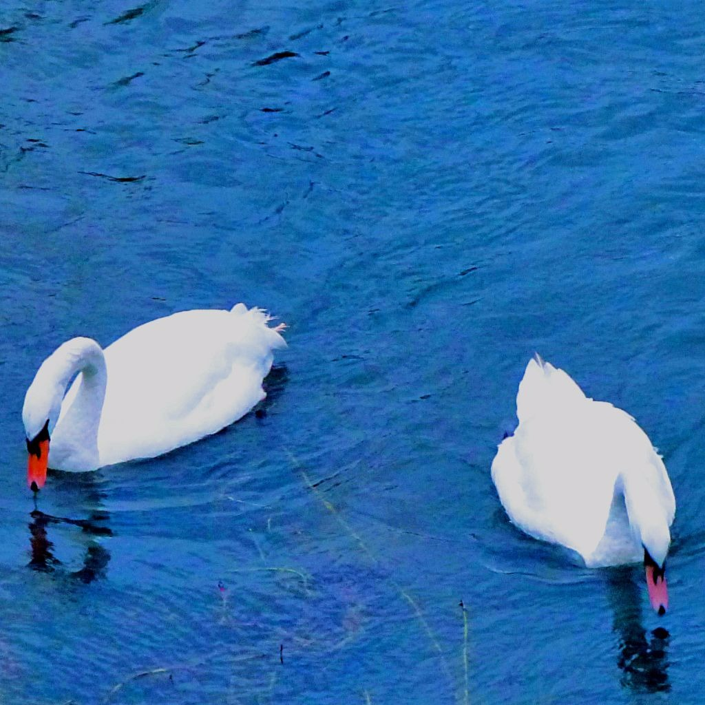 Swans, The Nar II