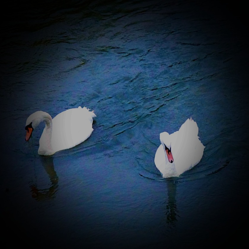 Swans, The Nar