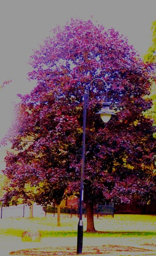 tall burgundy tree