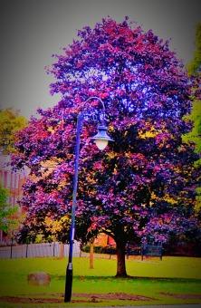 Tall burgundy tree