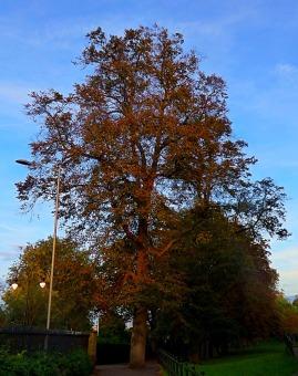 tall, denuded tree, the walks