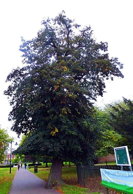 tall tree, the walks