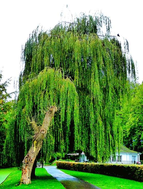 Tall willow